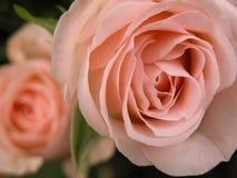 Rosor som blommar, närbild royaltyfria foton