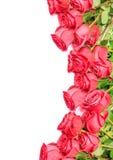 Rosor som isoleras på vit bakgrund Royaltyfria Bilder