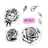 Rosor. Uppsättning av illustrationer Arkivfoto