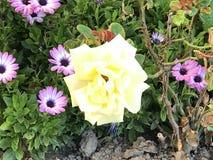 Rosorna på den offentliga trädgården fotografering för bildbyråer