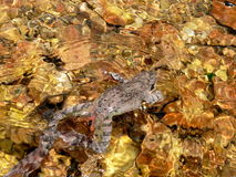 Rospo in acqua di un flusso della montagna Fotografia Stock