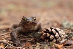 Rospo comune (bufo di Bufo) e cono del pino Fotografia Stock