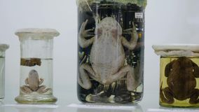 Rospo conservato in formaldeide in barattolo di vetro con illuminazione posteriore Esemplari conservati delle rane archivi video