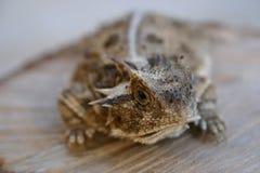 Rospo cornuto raro grande del Texas Fotografie Stock