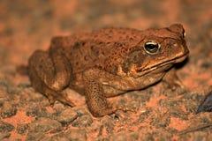 Rospo della canna - Australia Fotografie Stock