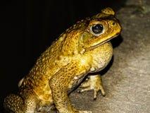 Rospo della fauna selvatica Immagini Stock Libere da Diritti