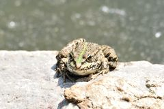Rospo della rana che guarda sulla pietra Immagini Stock