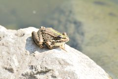 Rospo della rana che guarda sulla pietra Immagine Stock Libera da Diritti