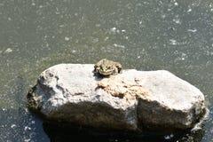 Rospo della rana che guarda sulla pietra Immagini Stock Libere da Diritti