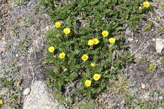 Ross' avens (Geum rossii) Royalty Free Stock Images