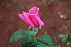 Ross cor-de-rosa Fotografia de Stock