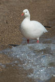 Ross` Goose. Wading in the surf on the beach Stock Images