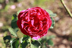 Ross rojo hermoso con sol Foto de archivo