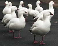 Ross's Goose Royalty Free Stock Photography