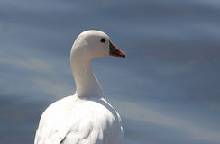 Ross's Goose Royalty Free Stock Images