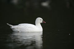 Ross's goose, Anser rossii. Single bird on water Stock Images