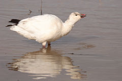 Ross's Goose Calling. A Ross's Goose calling from a marsh during winter in New Mexico Stock Image