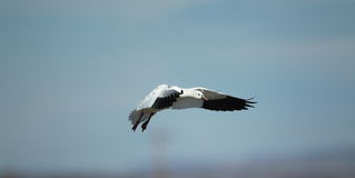Ross's Goose in flight with a blue sky background Royalty Free Stock Images