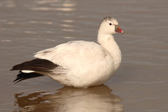 Ross's Goose On Lake. A Ross's Goose resting on a lake in New Mexico Royalty Free Stock Image