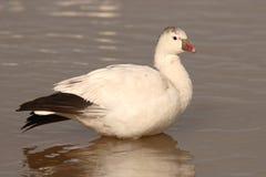 Free Ross S Goose On Lake Royalty Free Stock Image - 31754956