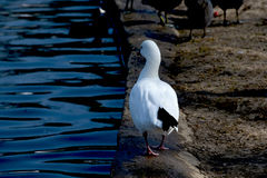 Ross's Goose Walking Stock Images