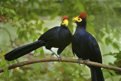 Ross's Turacos Stock Photo