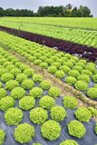 Rossa do verde e de Campi di insalata Imagens de Stock Royalty Free