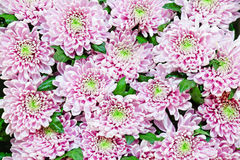 Rossano flower Royalty Free Stock Images