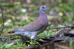 Rosse Duif, pigeon Pâle-exhalé, tobagens de cayennensis de Patagioenas image libre de droits