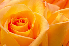Rosse - hälsning Royaltyfria Bilder