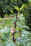Rosselle blomma på träd Royaltyfri Fotografi