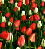 Rossi carmini e bianco vibranti Tulip Background Fotografia Stock Libera da Diritti