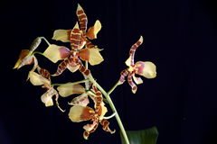 Rossioglosum Orchidee 2 Lizenzfreie Stockbilder