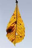 Rosskastanie, Aesculus hippocastanum Lizenzfreies Stockbild