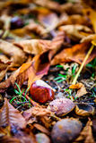 Rosskastanie - Aesculus hippocastanum auf Waldboden mit Weide Lizenzfreie Stockfotos