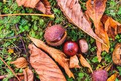 Rosskastanie - Aesculus hippocastanum auf Waldboden mit Weide Stockfotografie