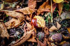 Rosskastanie - Aesculus hippocastanum auf Waldboden mit Weide Lizenzfreies Stockfoto