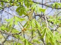 Rosskastanie, Aesculus hippocastanum, Blumenknospe und Jungeblätter auf Niederlassung mit bokeh Hintergrundmakro Lizenzfreie Stockbilder