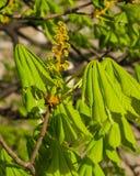 Rosskastanie, Aesculus hippocastanum, Blumenknospe und Jungeblätter auf Niederlassung mit bokeh Hintergrundmakro Stockfotografie