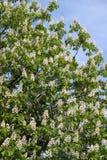 Rosskastanie (Aesculus hippocastanum, Conkerbaum) blüht das Blühen Stockfoto