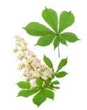 Rosskastanie (Aesculus hippocastanum, Conkerbaum) blüht ISO Lizenzfreies Stockbild