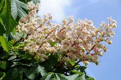 Rosskastanie in der Blüte lizenzfreie stockfotos