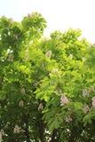 Rosskastanie, Eichel, esculus Aesculus Stockbilder