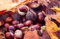 Rosskastanien oder Aesculus hippocastanum Stockbilder