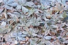 Rosskastanien oder Aesculus hippocastanum Stockfoto
