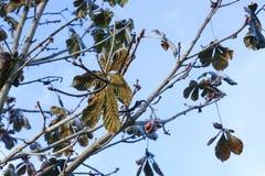 Rosskastanien oder Aesculus hippocastanum auf einem Baum Stockbild