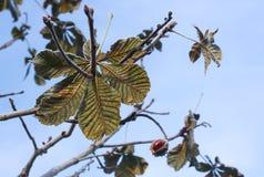 Rosskastanien oder Aesculus hippocastanum auf einem Baum Stockfotos