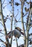 Rosskastanien oder Aesculus hippocastanum auf einem Baum Lizenzfreies Stockfoto