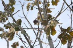 Rosskastanien oder Aesculus hippocastanum auf einem Baum Lizenzfreies Stockbild