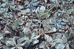 Rosskastanien oder Aesculus hippocastanum Fallblätter Stockbild
